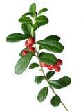 Lingonberry (vitis-idaea del Vaccinium) Fotos de archivo libres de regalías