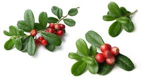 Lingonberry (vitis-idaea del Vaccinium) Imagen de archivo