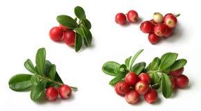 Lingonberry (vitis-idaea do Vaccinium) Imagens de Stock Royalty Free