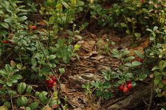 Lingonberry. Wild lingonberry at the forest bog Stock Photos