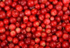 Lingonberry & x28;Vaccinium vitis-idaea& x29; Stock Photos
