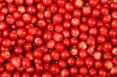 Lingonberry & x28;Vaccinium vitis-idaea& x29; Stock Photography