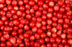 Lingonberry & x28;Vaccinium vitis-idaea& x29; Royalty Free Stock Image