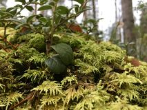 Lingonberry y musgo Imagen de archivo libre de regalías