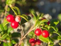 Lingonberry zbliżenie Fotografia Royalty Free