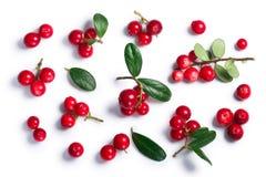 Lingonberryvaccinium vitis-idaea, hoogste mening, wegen stock afbeelding