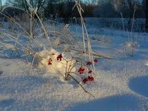 Lingonet täckas med rimfrost i soligt väder Arkivbild