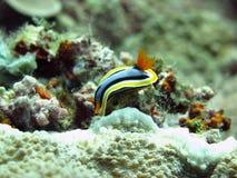 Lingot de mer (Nudibranch) Image libre de droits