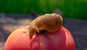 Lingot géant de jardin et tomate rouge juteuse mûre Potager d'été Photo libre de droits