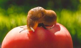Lingot géant de jardin et tomate rouge mûre Potager d'été Photo stock