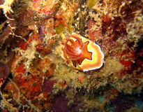 Lingot magnifique de Coiâs Photo libre de droits