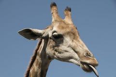 Lingua capa della giraffa fuori che lecca Immagini Stock Libere da Diritti