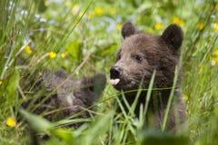 lingua dell'orso del bambino fuori con i fiori Immagini Stock Libere da Diritti