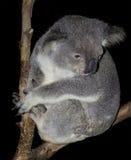 Lingua della koala Fotografia Stock