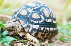 Lingua della tartaruga Fotografie Stock Libere da Diritti