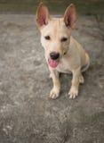 Lingua di seduta e di sporgenza del cane tailandese Fotografia Stock Libera da Diritti