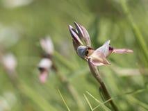 Lingua selvaggio di serapias dell'orchidea Fotografia Stock Libera da Diritti