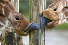 Lingue della giraffa che leccano un palo di legno Fotografia Stock Libera da Diritti