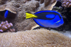 Linguetta blu Fotografia Stock