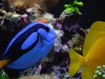 Linguetta blu, hepatus, linguetta gialla fotografie stock libere da diritti