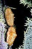 Linguetta Bonaire del fenicottero Fotografia Stock