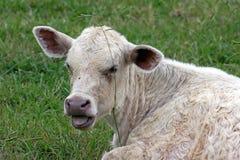 Linguetta dei vitelli Fotografia Stock