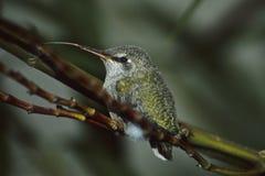 Linguetta del Hummer Fotografie Stock