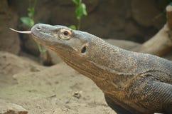 Linguetta di Komodo Fotografia Stock