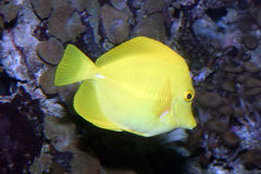 Linguetta gialla Immagine Stock Libera da Diritti