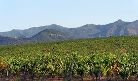 Vineyard in Corsica island. Linguizzetta village and vineyard in eastern plain of Corsica stock photos
