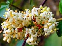 Lingustrum sinense🌸 blommar 🌸 för ¹ för 🌠för ¹ för 🌹🌠Arkivbild