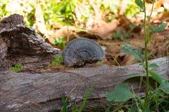 Lingzhi蘑菇 库存图片