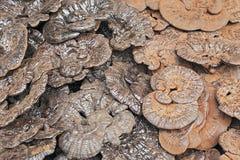 LingZhi Lizenzfreies Stockfoto