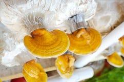 Lingzhi, champignon de lucidum de Ganoderma Images libres de droits