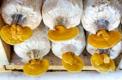 Lingzhi, champignon de lucidum de Ganoderma Photo stock