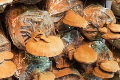 Lingzhi mushroom. Close up of lingzhi mushroom in its cultivation house Stock Images