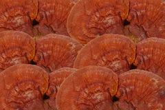 Lingzhi Mushroom Ganoderma Lucidum Stock Photos