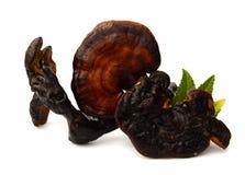 Lingzhi Mushroom Ganoderma Lucidum royalty free stock photos
