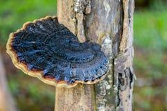 Lingzhi mushroom Stock Image