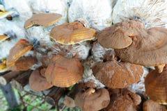 Lingzhi mushroom grow up in farm Royalty Free Stock Photos