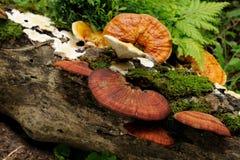 Lingzhi mushrooms Stock Images
