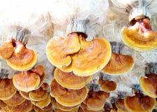 Lingzhi mushrooms Stock Image