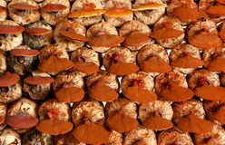 Lingzhi mushrooms Ganoderma Lucidum growth in mushroom farm royalty free stock photo