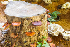 Lingzhi mushrooms growth Royalty Free Stock Photo