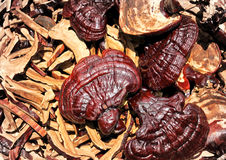 Lingzhi mushrooms Stock Photo