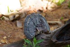Lingzhi-Pilz auf Bauholz stockfoto