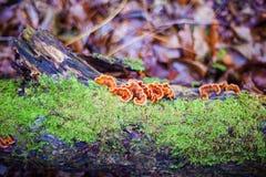 Lingzhi-Pilz oder reishi Pilz Stockbild