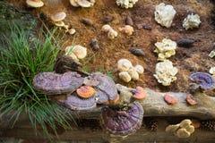 Lingzhi-Pilz oder Reishi-Pilz am Lebensmittelfestival Stockbild