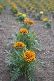 Linha alaranjada da flor Imagem de Stock