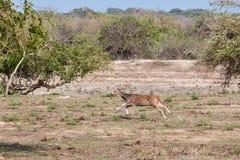 Linha central indiana da linha central dos cervos Fotos de Stock Royalty Free